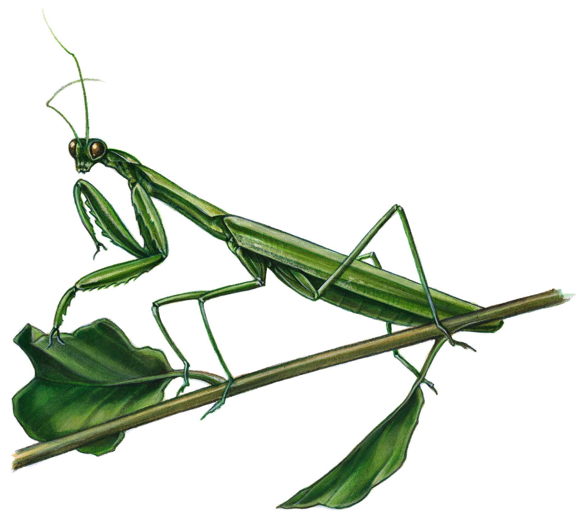 ecological -praying mantid
