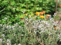 thyme, calendula, feverfew