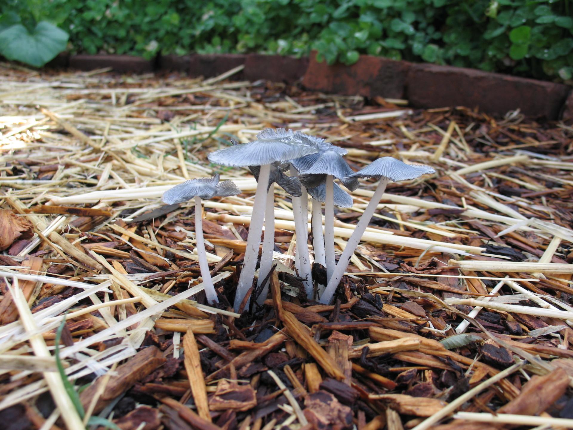 inky cap mushroom