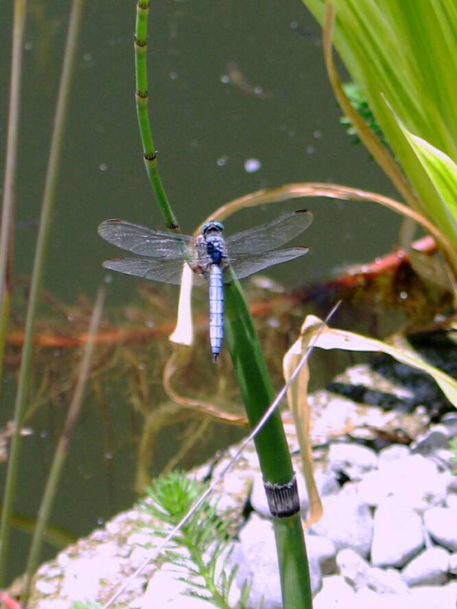 Pool to Pond -dragonfly