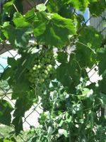Milliron -grapes