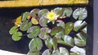 Pool to Pond -lilies