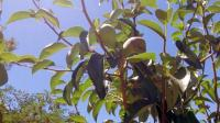 Milliron -fruit tree