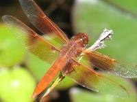 Ladwig -dragonfly