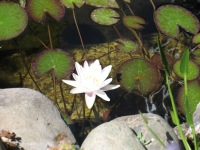 Ladwig -water lily