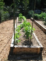 Ladwig -vegetable garden planted