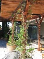 Coots -pergola deciduous vines