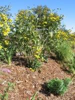 Coots -drought tolerant garden