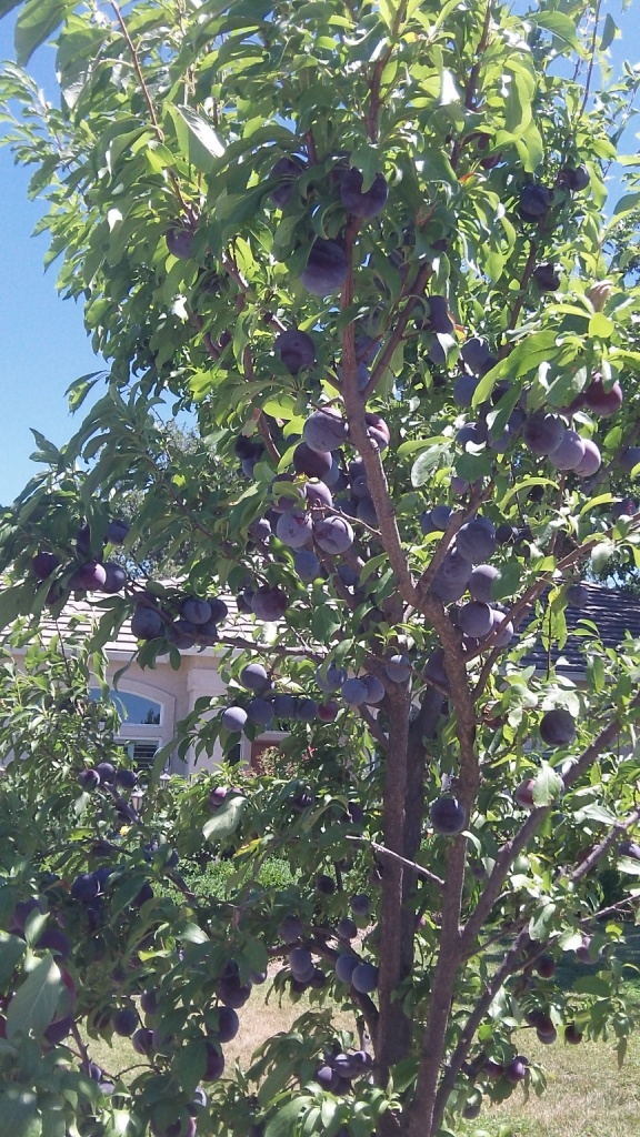Coots -plum tree