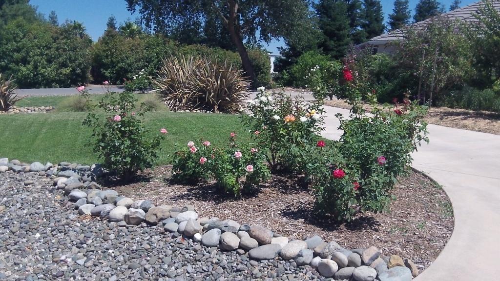 Coots -rose garden