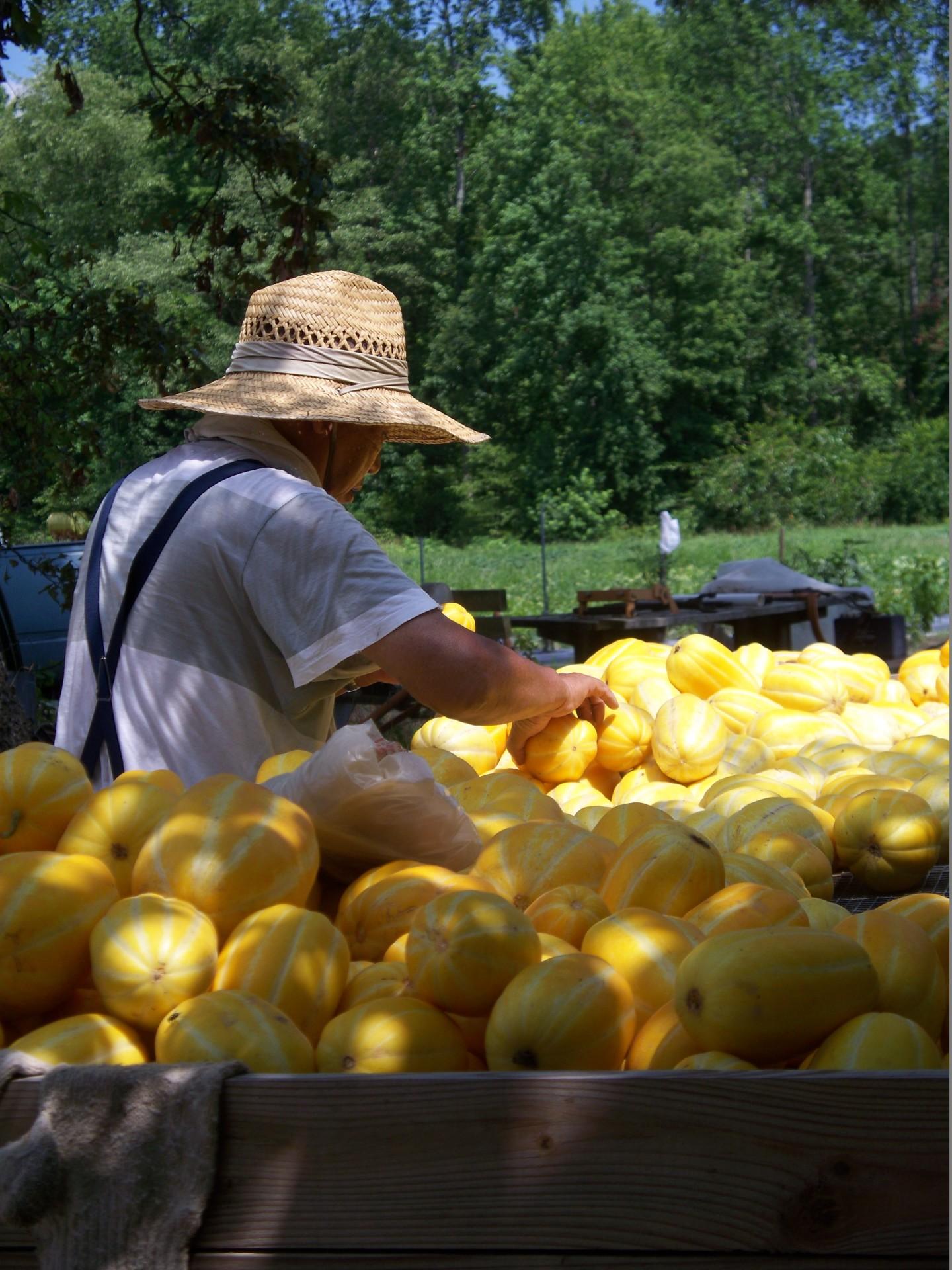 Harvesting Korean Melon
