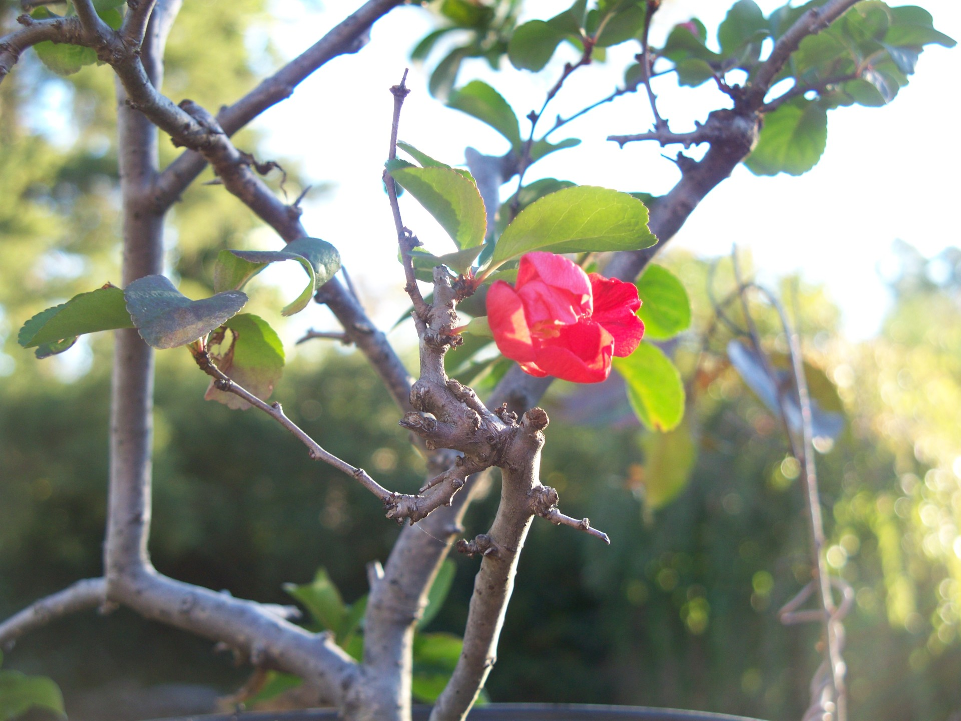 Quince: Texas Scarlet
