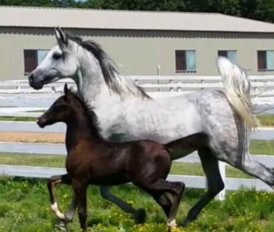 Mares & Geldings | High Meadow Arabians | 940-241-2042