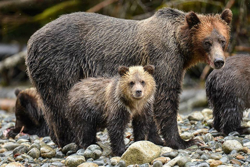 IM Best Bear Tour in 2018, Campbell River, Vancouver Island, BC Canada