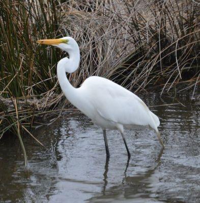 Great Egret Marsh