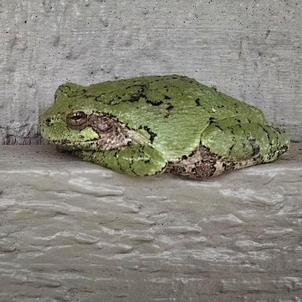 tiny treefrogs make big noises