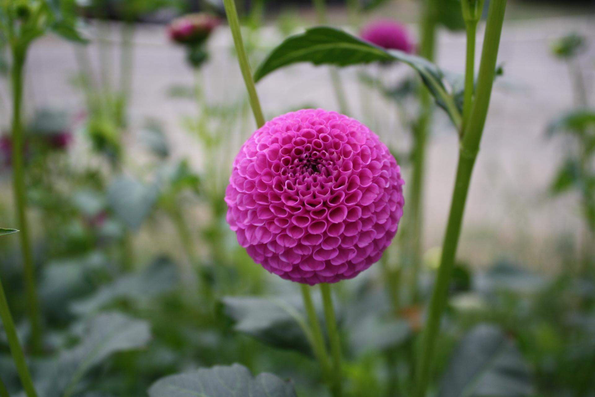 Lilac Willo