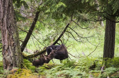 See a moose