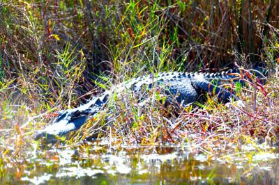 American Alligator on Black Point Drive