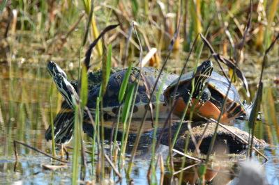 Turtles in Viera Wetlands