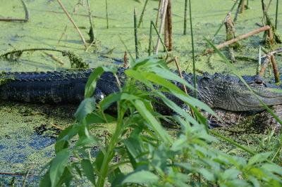 Alligator Stalking Anhinga