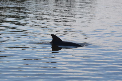 Dolphin in the Eau Gallie River