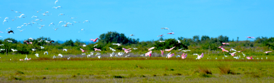 Flock of Roseate Spoonbills