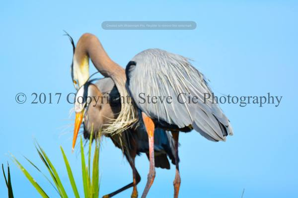 Great Blue Heron Mating