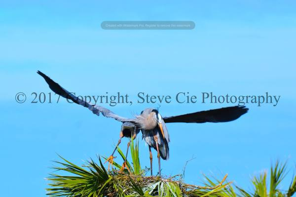 Great Blue Heron Leaves nest