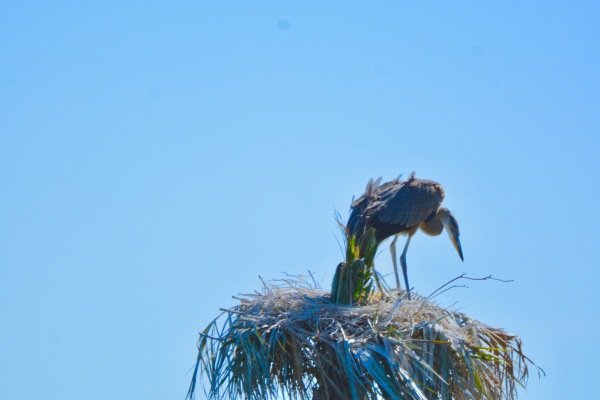 Great Blue Heron Hatchlings