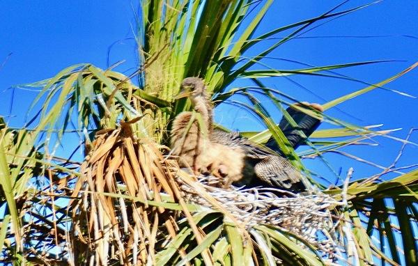 Anhingan Hatchlings