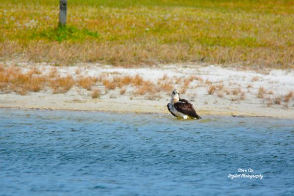 Osprey bathing