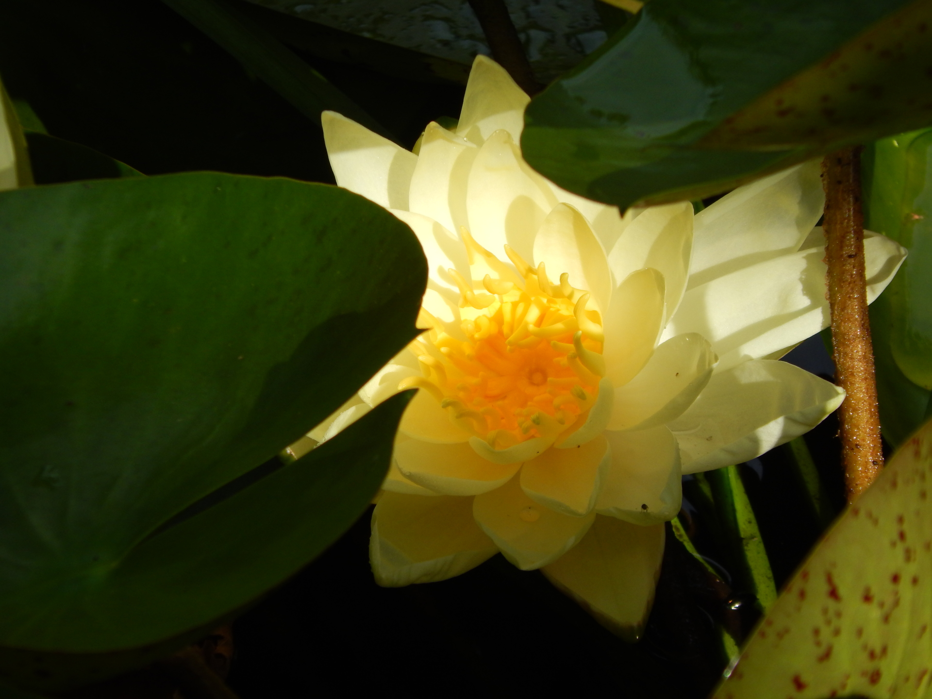 Hardy Water Lily Pond