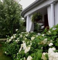 White curtains, white hydrangeas, front garden, garden design