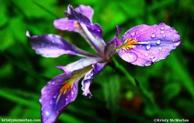 Wild Iris, Oregon