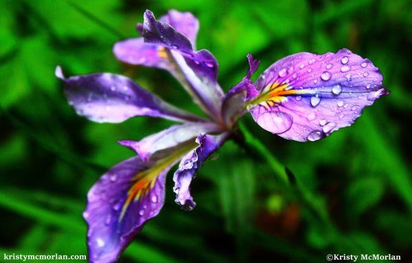 Wild Iris Santiam Foothills, Mehama, Oregon