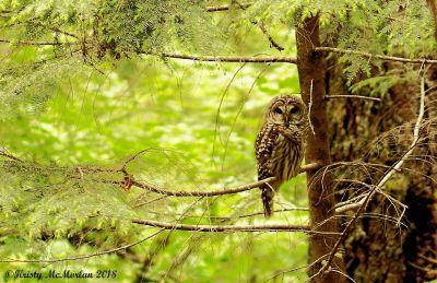 Owl, Opal Creek Wilderness, Willamette National Forest, Oregon