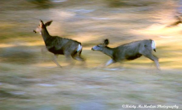 Wild Deer, Central Oregon