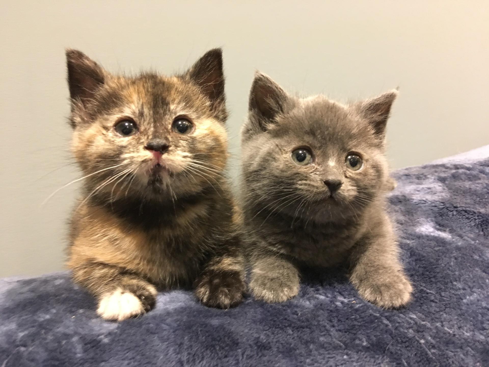 Foster kittens: Shrimp & Scallop