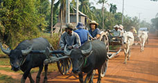 Siem Reap Oxcart Ride