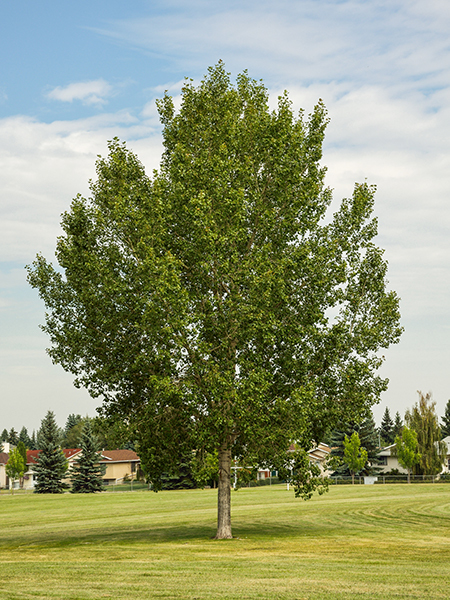 NORTHWEST POPLAR