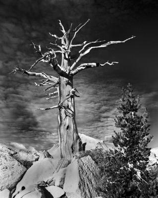 Pacinos Pine