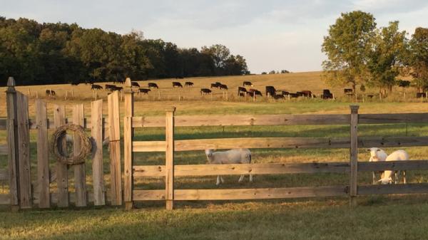 Circle P Katahdin, Registered Katahdin sheep, Rams, Lambs