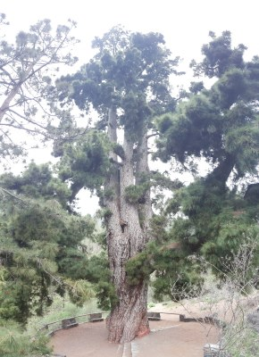 pino gordo, vilaflor, pine tree, tallest tree, canary islands, pine, forest, corona forestal