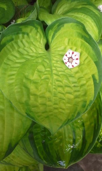 with Kalmia latifolia 'Peppermint'