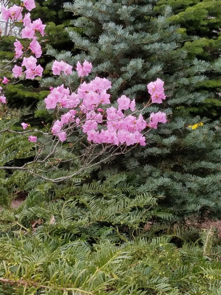 Azalea 'Cornell Pink'