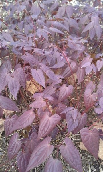 Epimedium grandiflorum 'Dark Beauty'