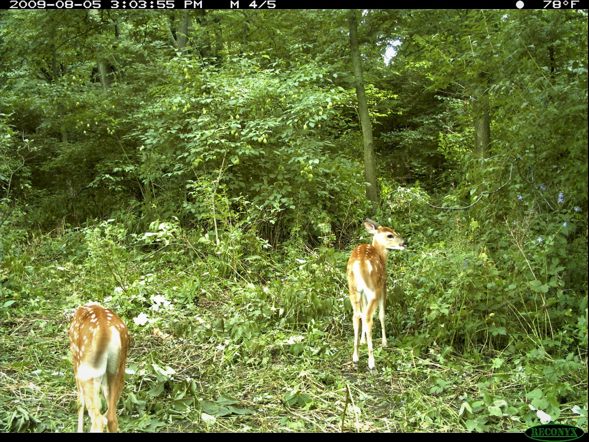 Doe & 2Fawns
