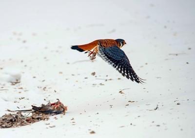 Kestrel Hawk leaving