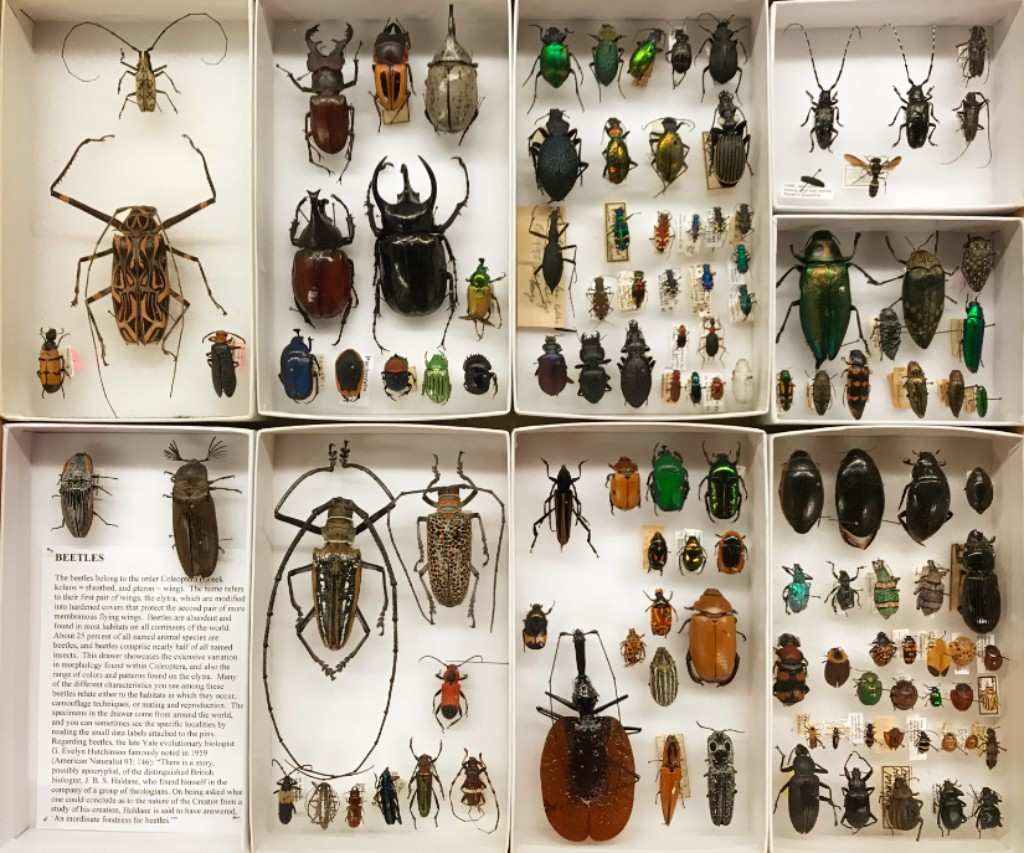 Beetle collection at the Peabody Museum, Yale University